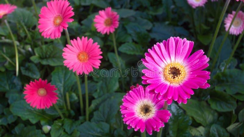 美好的桃红色和黄色大丁草花在绽放 免版税库存照片