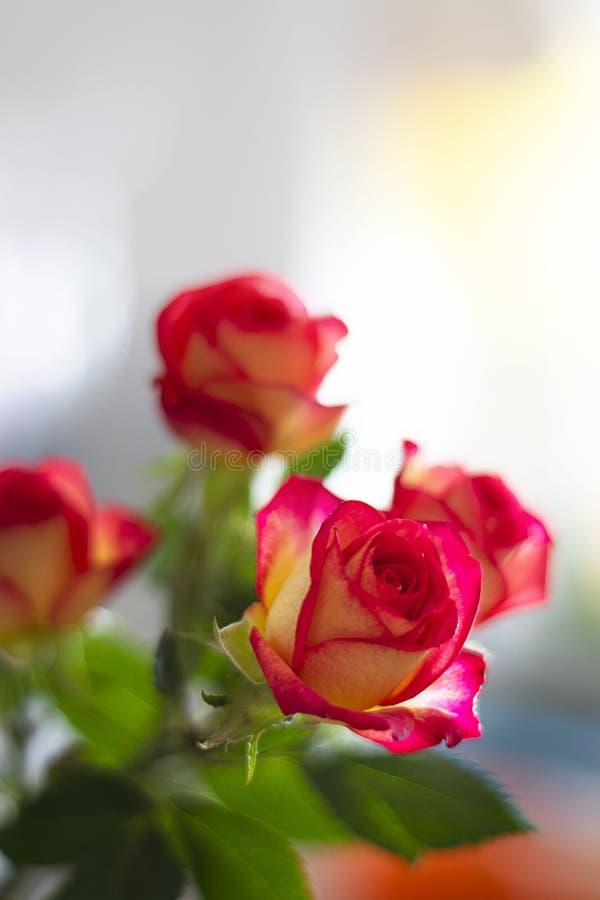 美好的桃红色和黄色玫瑰在defocused wondow背景  作为爱表示的新鲜的美丽的花和 库存图片
