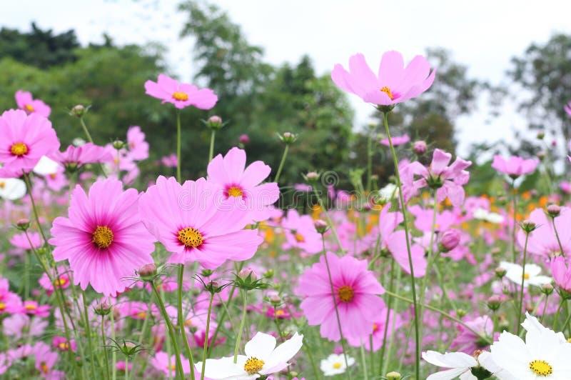 美好的桃红色波斯菊在庭院里开花开花 库存照片