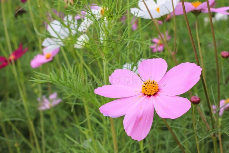 美好的桃红色波斯菊在庭院里 免版税库存图片