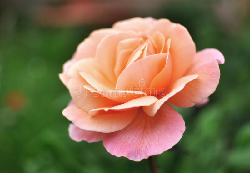 美好的桃红色珊瑚英语罗斯,绿色backgroung 免版税库存照片