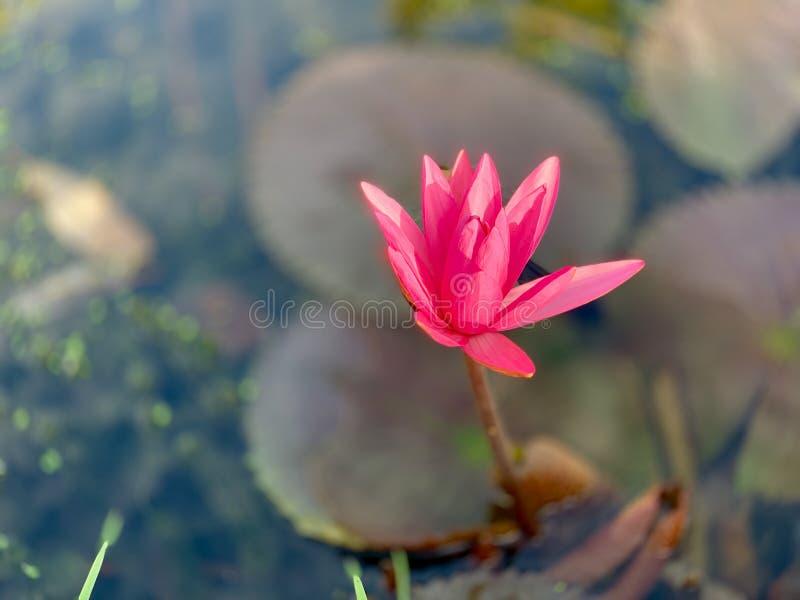 美好的桃红色荷花或莲花佩里的橙色日落 星莲属在水中被反射 库存图片