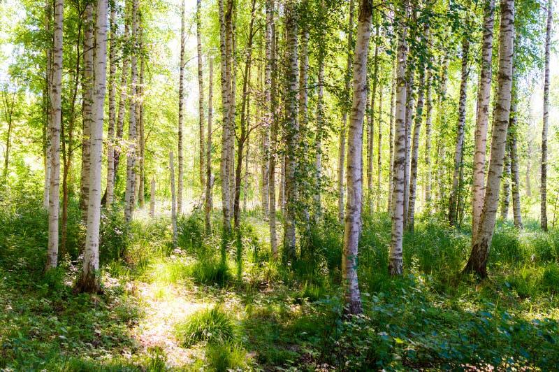 美好的桦树bosk 免版税库存图片