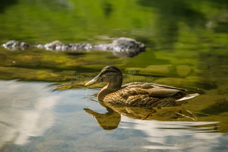 美好的棕色女性鸭子游泳在山湖 与鸟的山风景 图库摄影