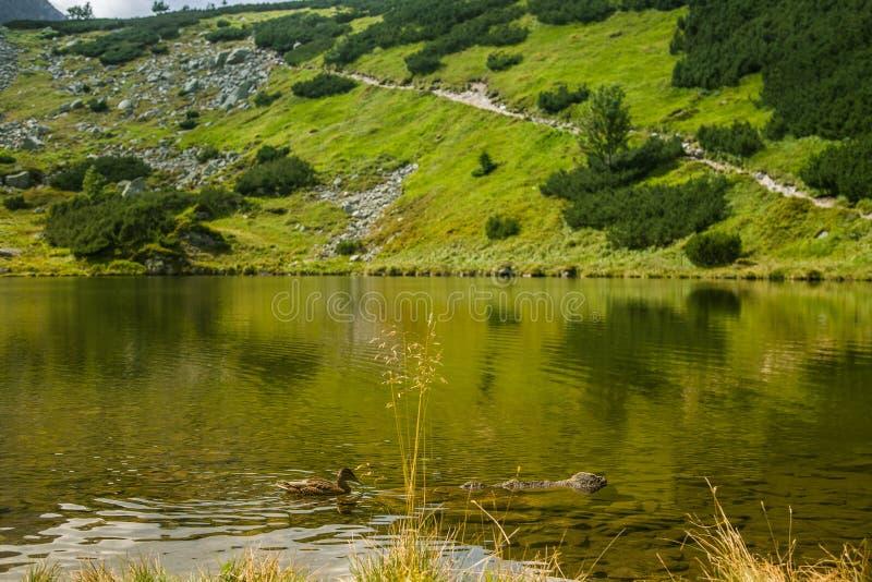 美好的棕色女性鸭子游泳在山湖 与鸟的山风景 库存图片