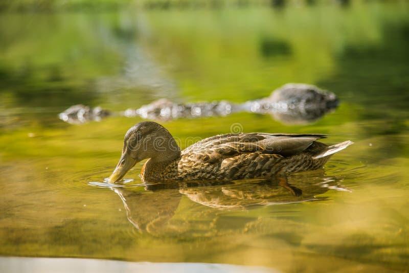 美好的棕色女性鸭子游泳在山湖 与鸟的山风景 免版税图库摄影