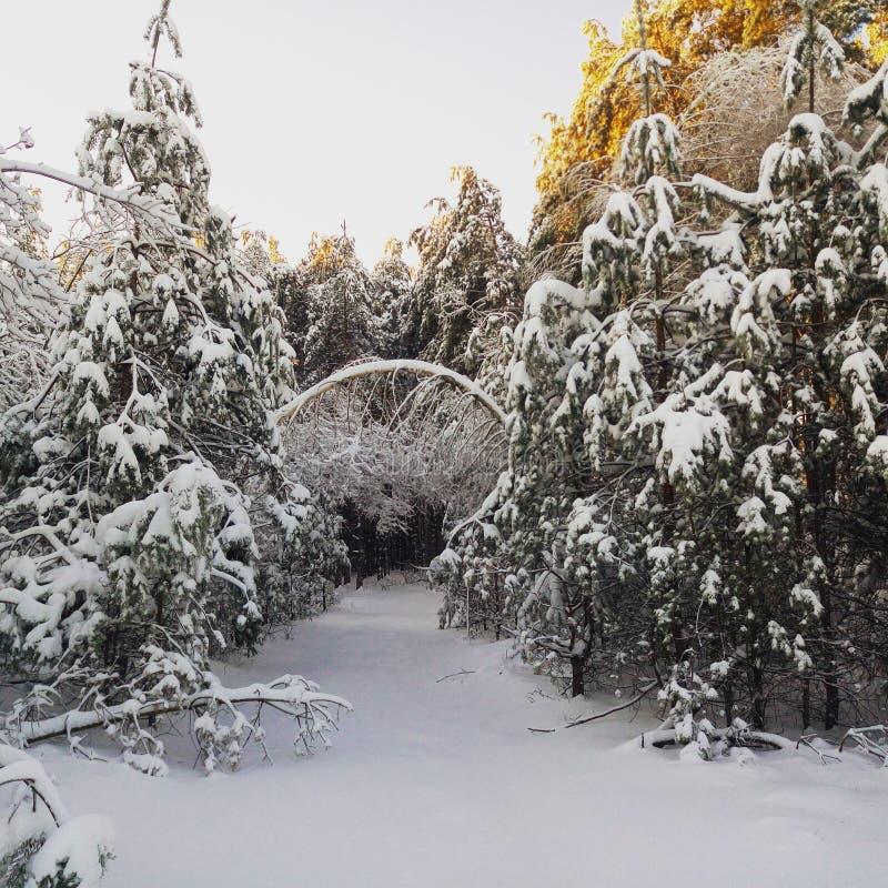 美好的森林冬天 库存图片