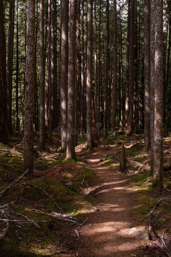 美好的森林地步行在起斑纹的森林在奥林匹克国家公园,华盛顿州,美国里 库存图片