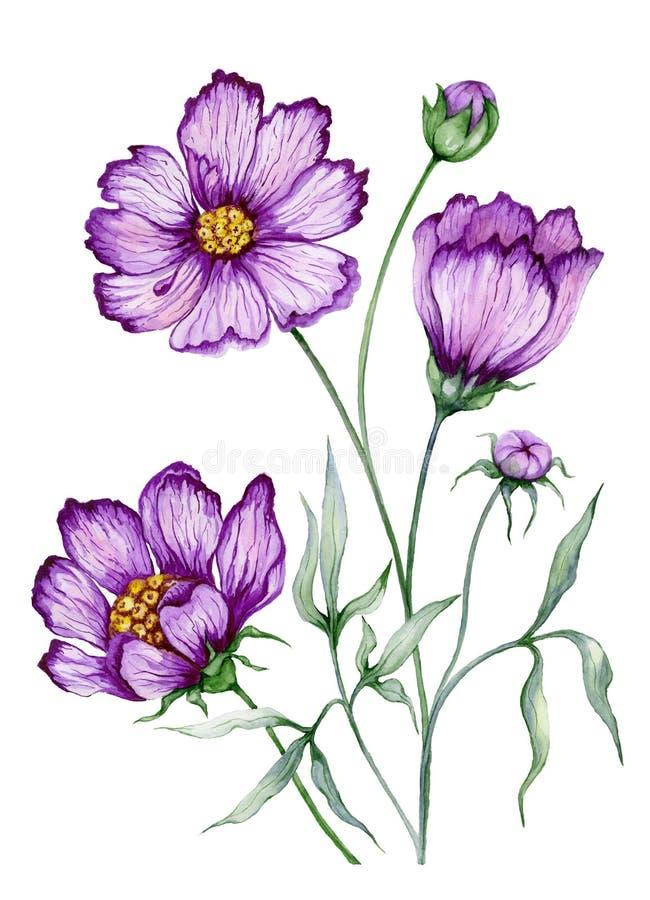 美好的植物的在词根的例证紫色波斯菊花与叶子 在空白背景查出的花 水彩 向量例证