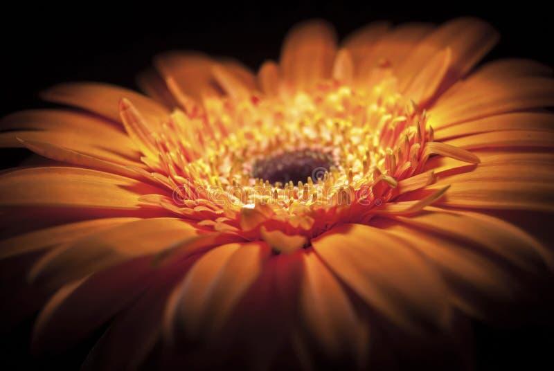 美好的橙色大丁草雏菊关闭 瓣细节有黑暗的背景 库存照片