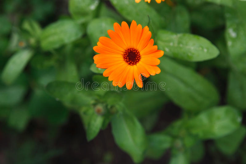 美好的橙色金盏草花背景 库存照片