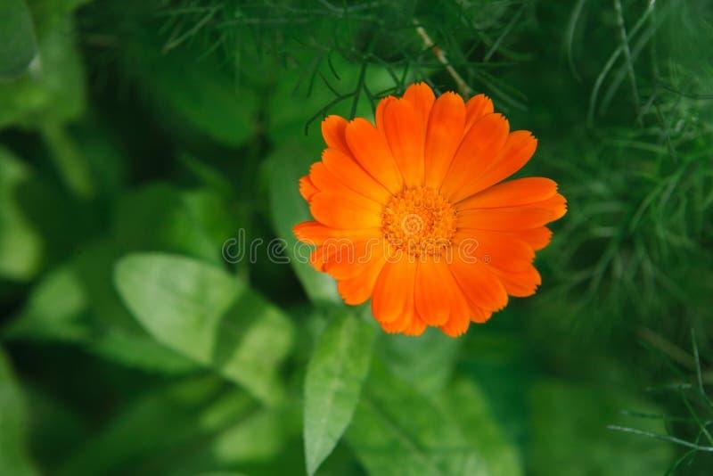 美好的橙色金盏草花背景 免版税库存图片