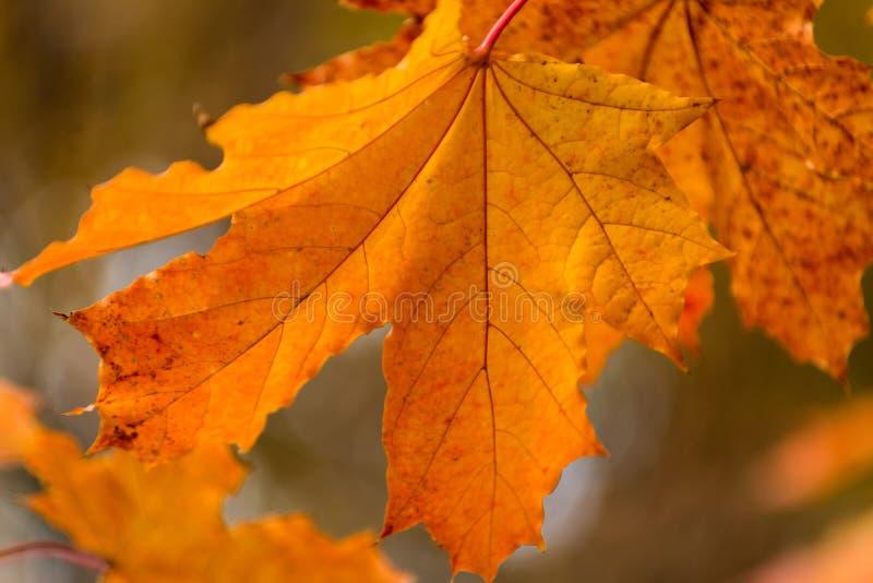 美好的橙黄红色秋叶背景 库存图片