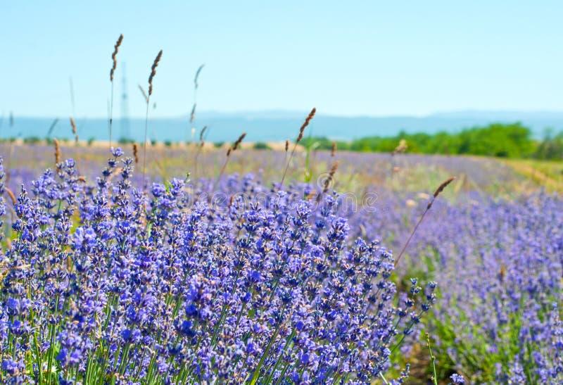 美好的淡紫色绽放在阳光下 紫罗兰色淡紫色领域 库存照片