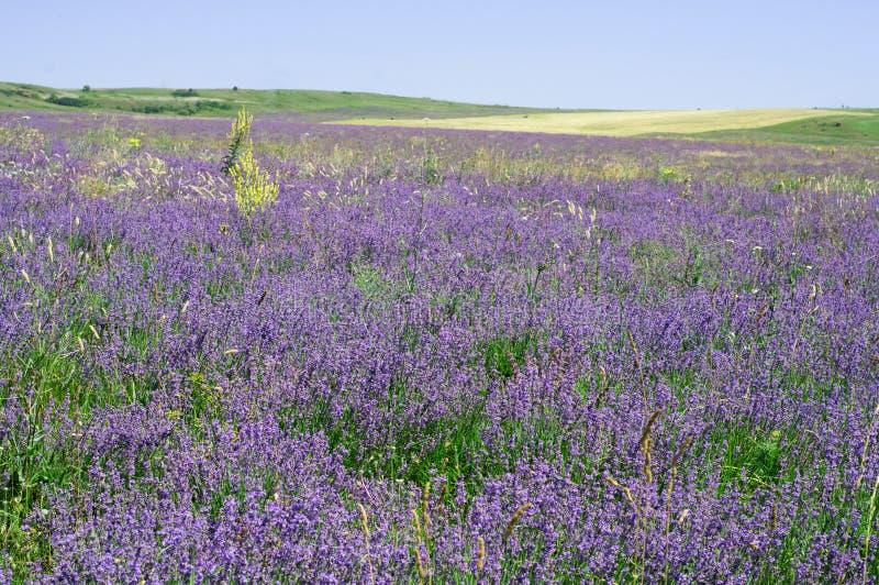 美好的淡紫色绽放在阳光下 紫罗兰色淡紫色领域 免版税库存图片