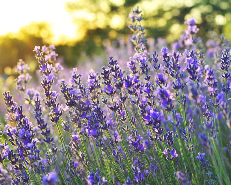 美好的淡紫色绽放在阳光下 库存照片