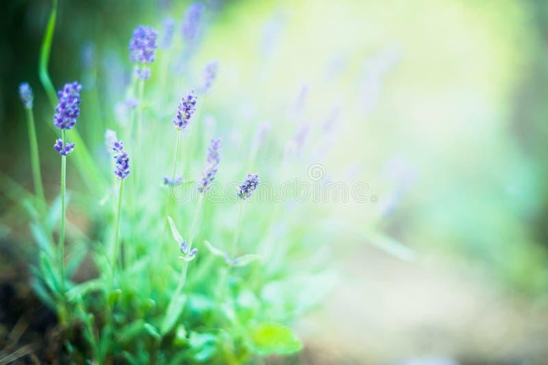 美好的淡紫色在被弄脏的庭院或公园背景开花 免版税库存图片