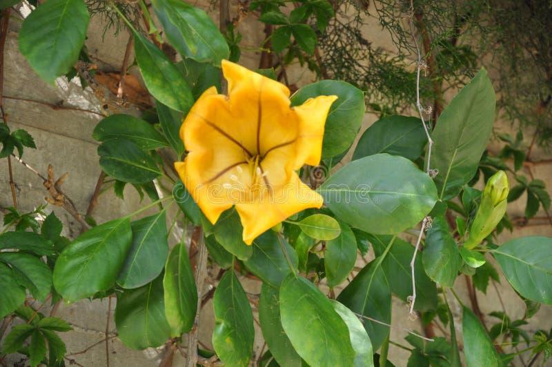 美好的热带攀缘植物最大值在庭院里开花 免版税图库摄影