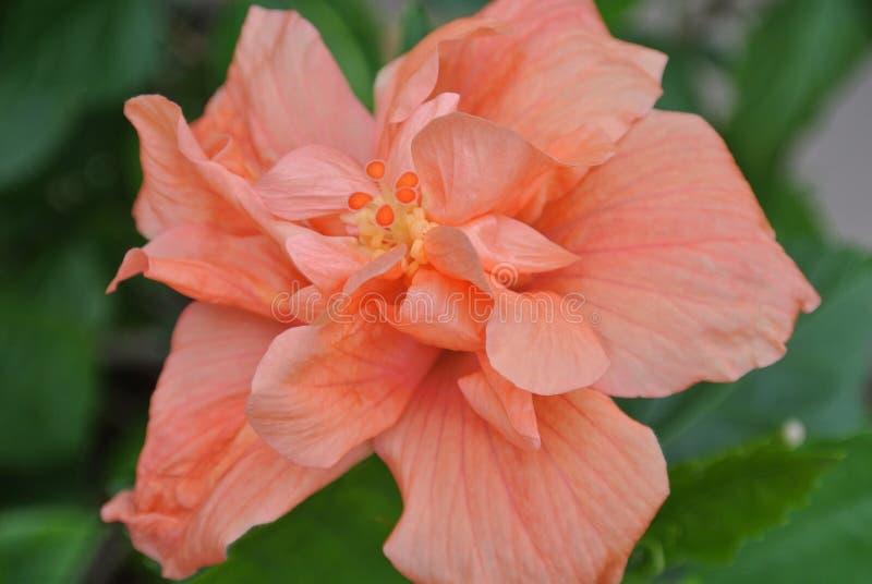 美好的热带木槿花关闭 免版税库存图片