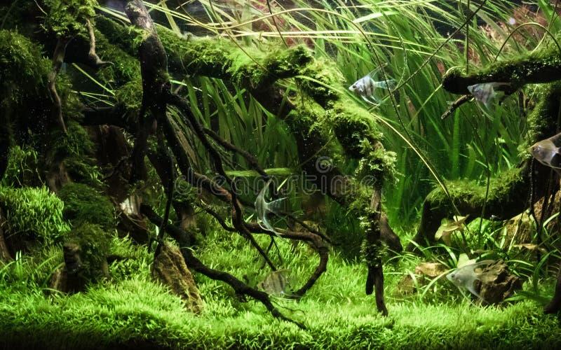 美好的热带水色scape、自然水族馆绿色植物和热带五颜六色的鱼在水族馆鱼缸 免版税库存照片