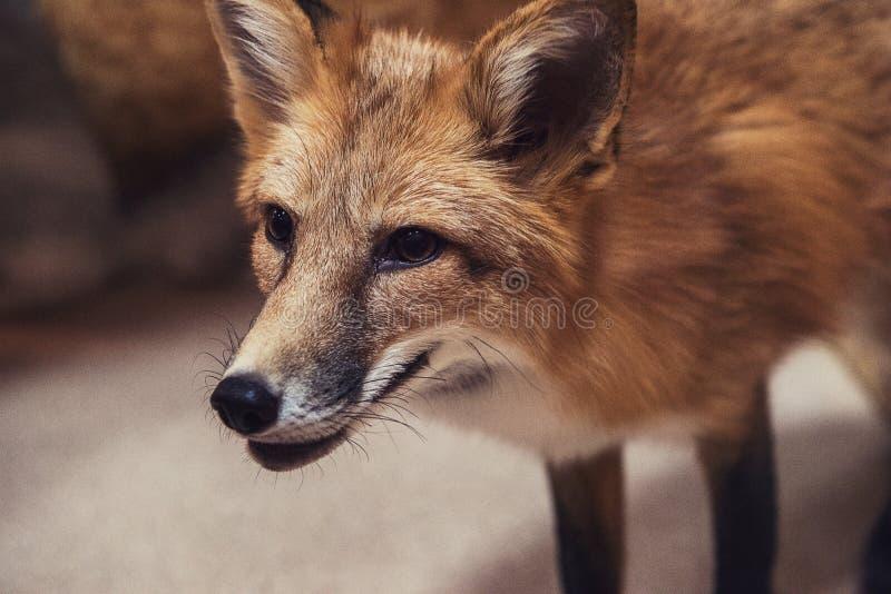 美好的狐狸红色 图库摄影
