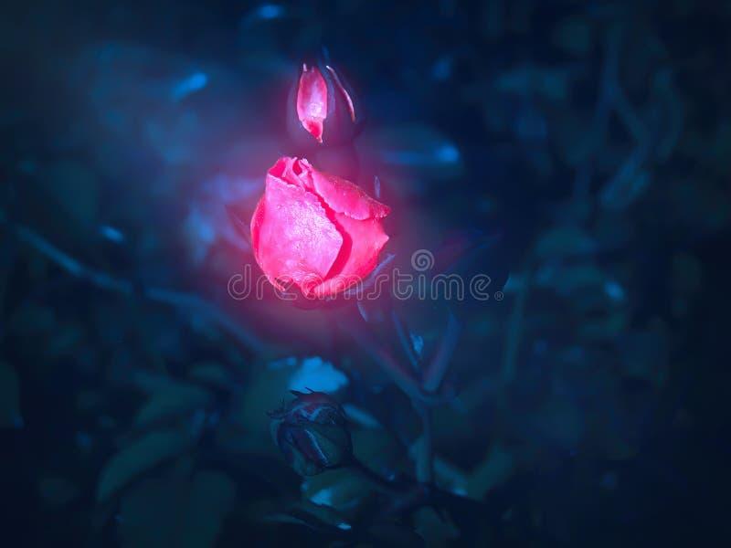 美好的猩红色玫瑰色芽在晚上发光 免版税图库摄影