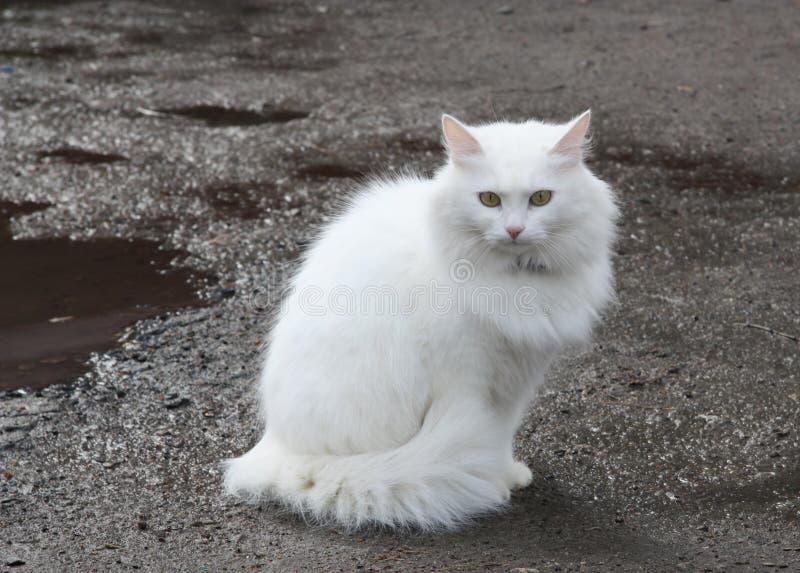 美好的猫白色 免版税库存图片