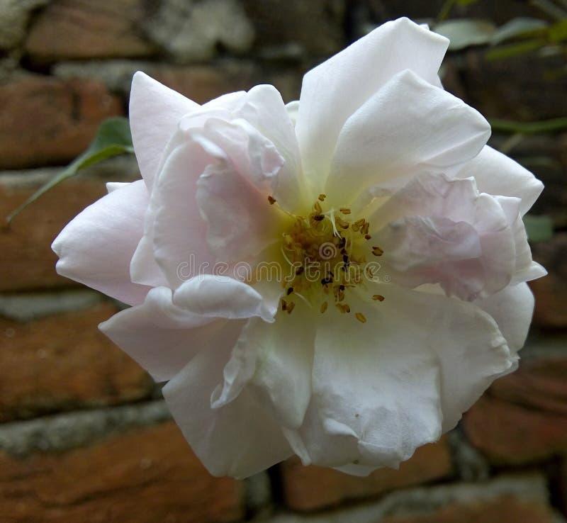 美好的玫瑰白色 免版税库存照片