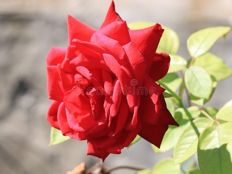 美好的玫瑰色猩红色 免版税库存照片