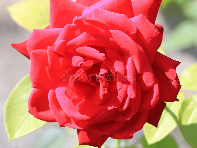 美好的玫瑰色猩红色 库存照片
