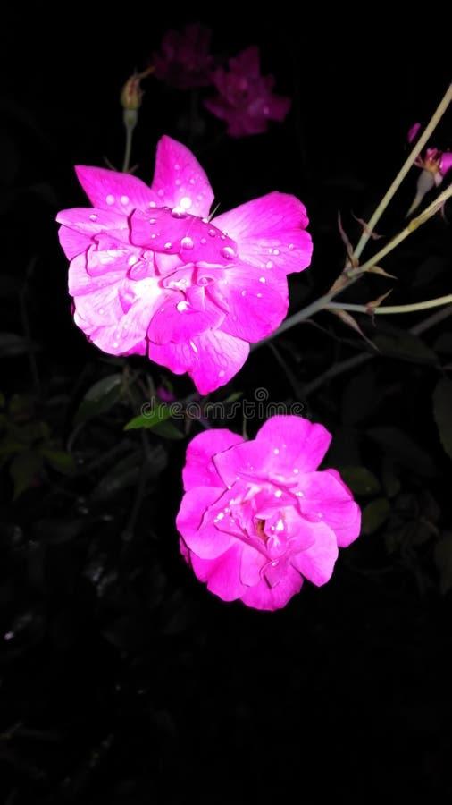 美好的玫瑰色花点击在晚上 库存照片