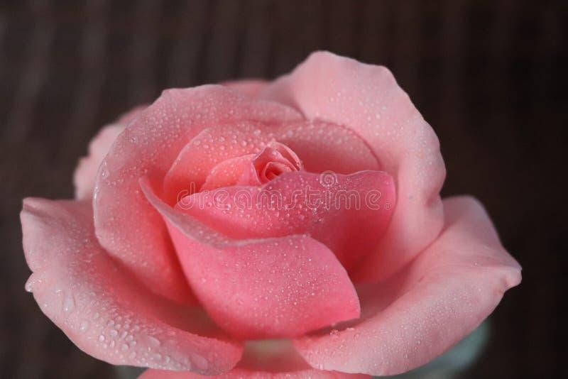 美好的玫瑰色dropletsonthepetals自然 免版税图库摄影