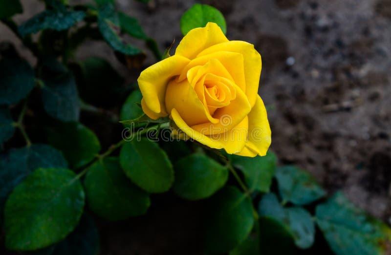 美好的玫瑰黄色 免版税库存图片