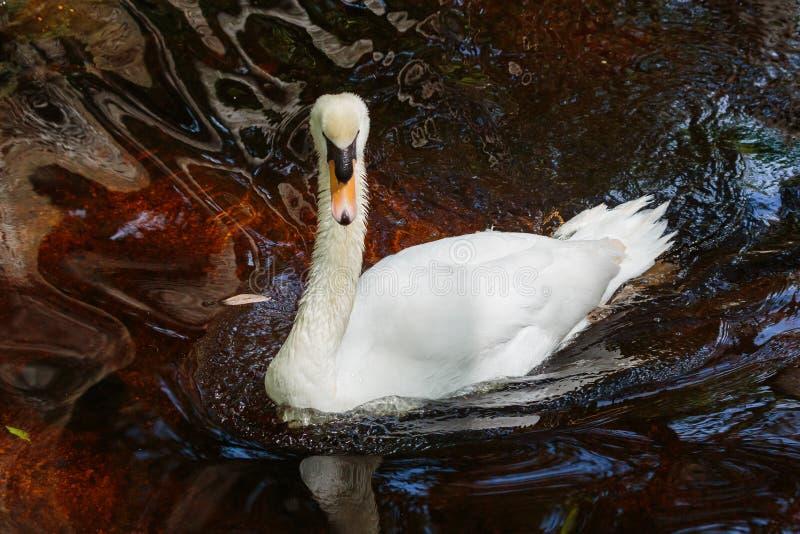 美好的疣鼻天鹅游泳在池塘 免版税库存图片