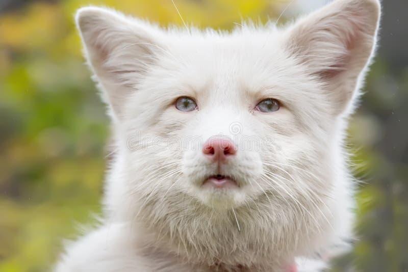 美好的白狐的画象 库存照片