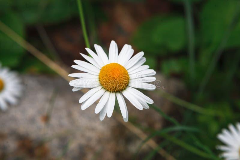 美好的白色春黄菊花背景 库存图片