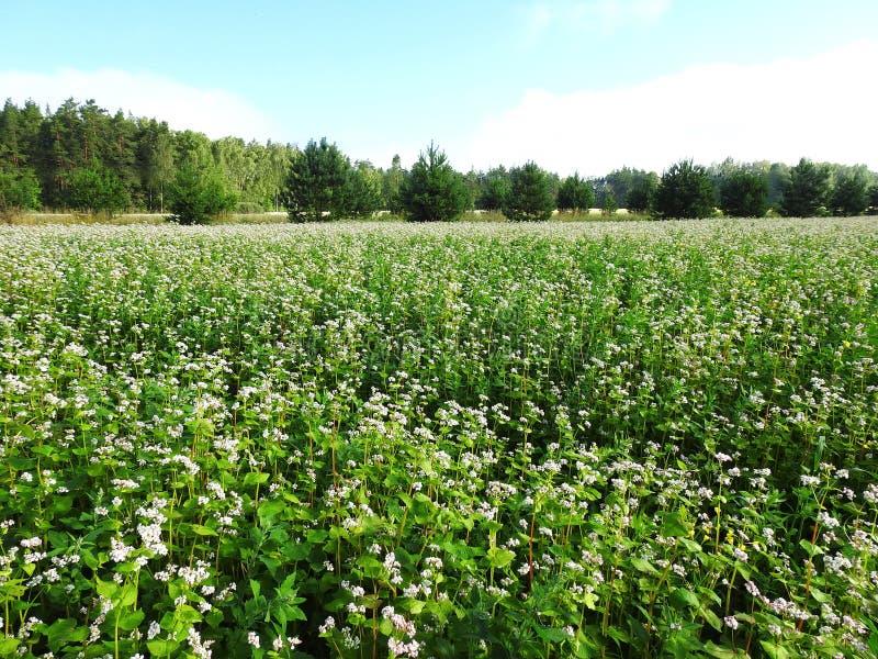美好的白色荞麦花田,立陶宛 免版税库存图片