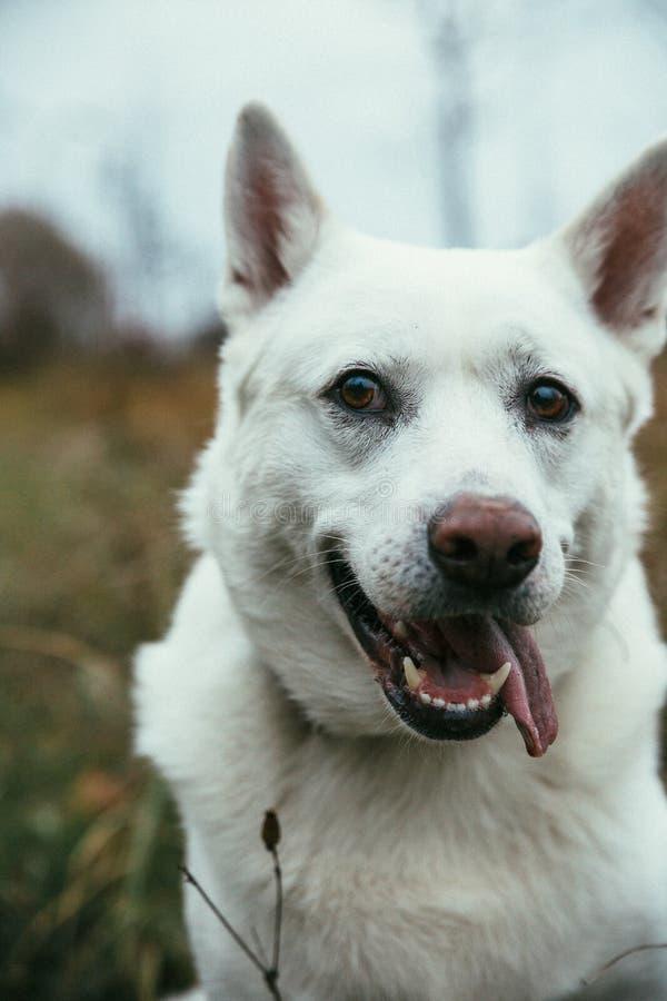 美好的白色西伯利亚爱斯基摩人狗†‹â€ ‹凝视和微笑 库存图片
