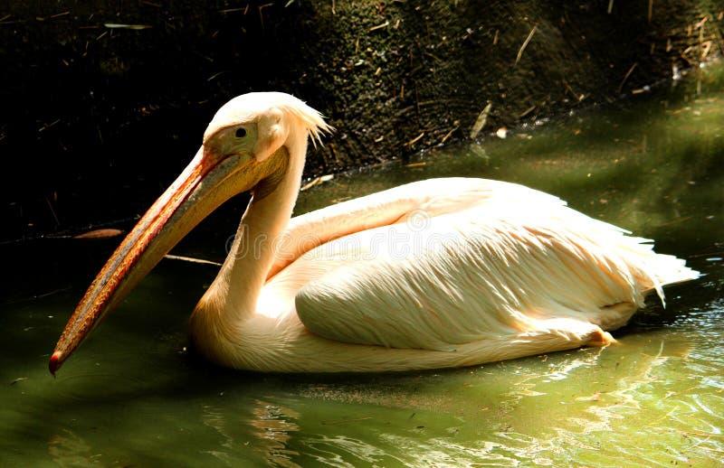 美好的白色鹈鹕游泳 免版税库存照片