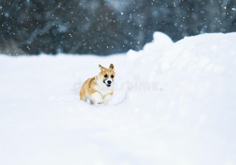 美好的矮小的红色小狗小狗乐趣横跨一个白色领域跑在冬天在村庄在期间降雪 免版税库存照片