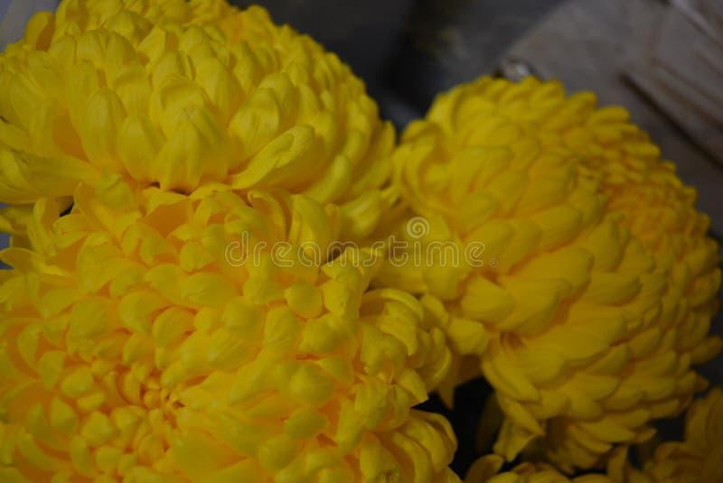 美好的秋天乌克兰花,黄色菊花芽有大和热闹的黄色开花的,高尚的kalyaned flowe 免版税库存照片