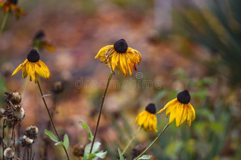 美好的秋天coneflower在庭院里 免版税库存图片