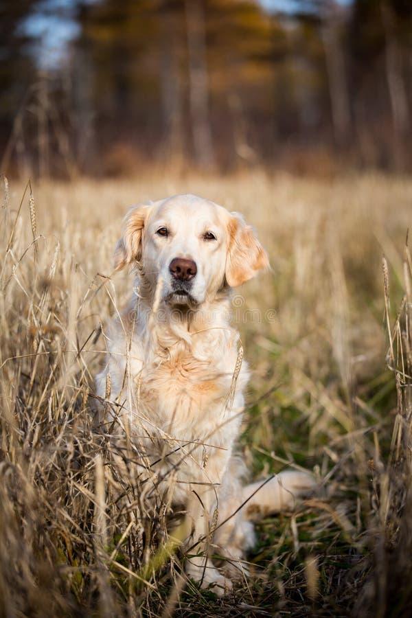 美好的米黄坐在凋枯的黑麦领域的狗品种金毛猎犬在秋天 库存图片