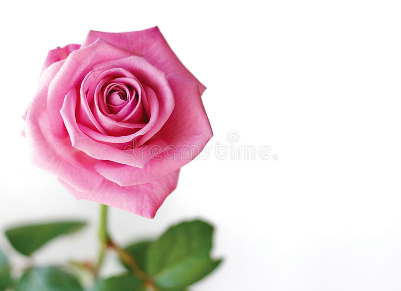 美好的粉红色上升了 免版税图库摄影