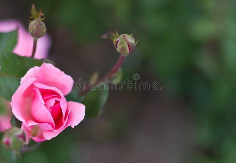 美好的粉红色在庭院里上升了 免版税库存照片