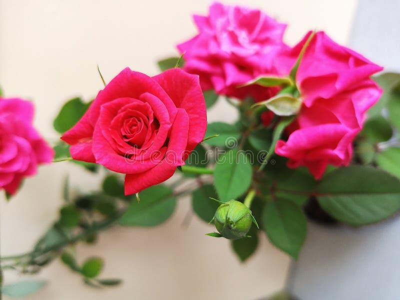 美好的精美桃红色,红色玫瑰 在白色隔绝的红色玫瑰 库存照片