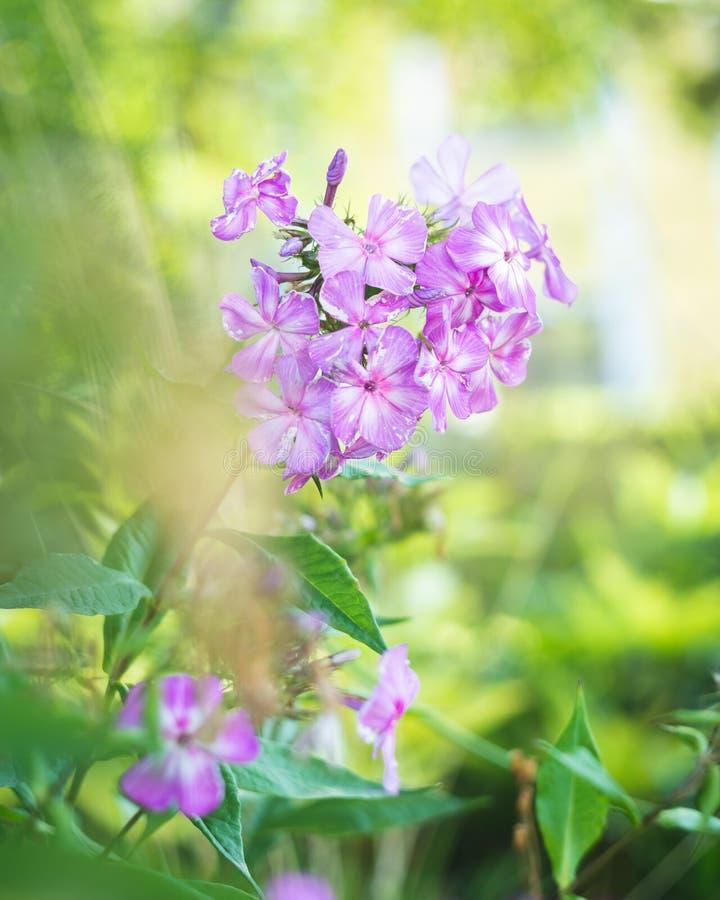 美好的紫罗兰开花特写镜头、木Cranesbill或者森林地大竺葵花大竺葵sylvaticum 库存照片