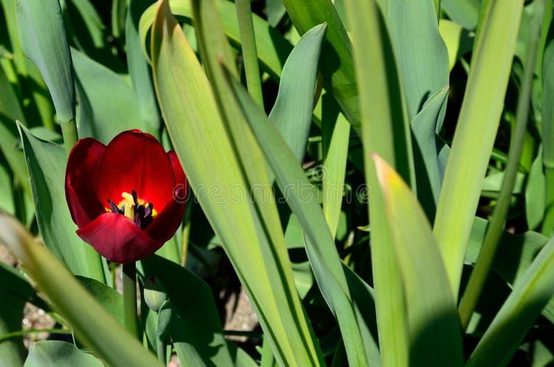 美好的红色充满活力的葱属aflatuense,亦称紫色感觉花在夏天 免版税库存照片
