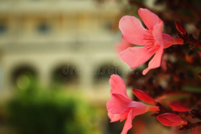 美好的红色白色樱桃绽放在一个晴朗的dayBeautiful夏天在突尼斯,绽放红色花在一summer's天 库存图片