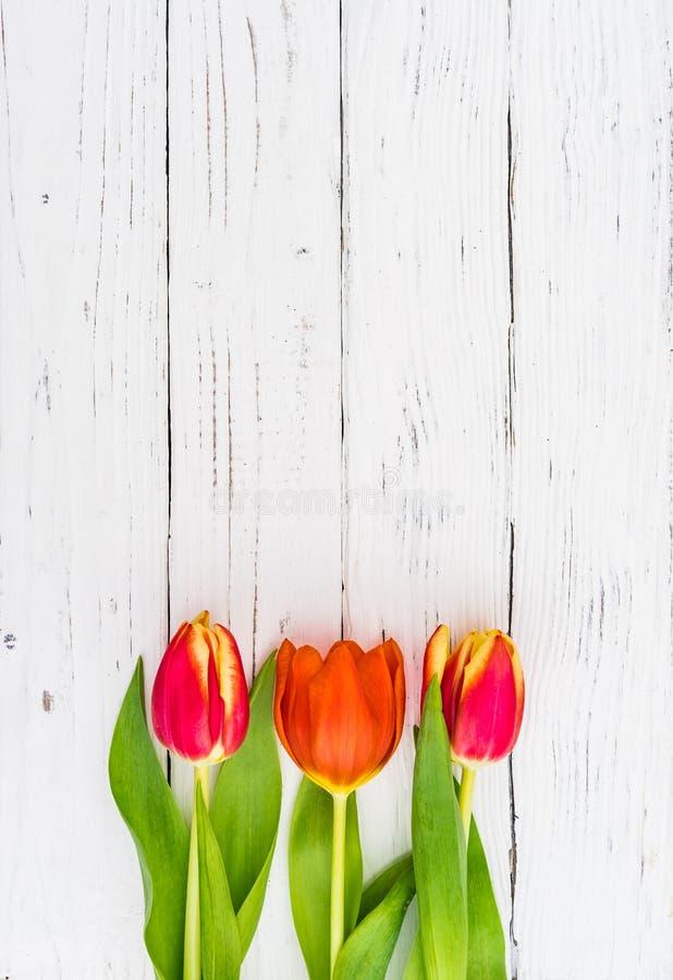 美好的红色郁金香春天在白色木背景开花 库存照片